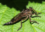 Robber Fly Machimus sp