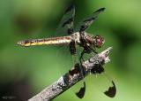 Twelve-spotted Skimmer Libellula pulchella