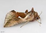Celery Looper Moth Anagrapha falcifera #8924