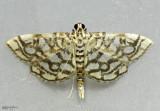 Bog Lygropia Moth Lygropia rivulalis #5250