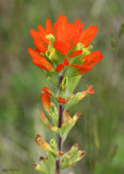 Indian Paintbrush Castilleja coccinea