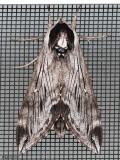 Northern Apple Sphinx Moth Sphinx poecila #7810.1