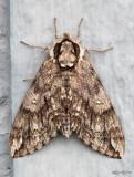 Waved Sphinx Moth Ceratomia undulosa #7787