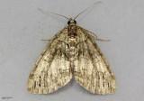 Transfigured Hydriomena Moth Hydriomena transfigurata #7237