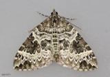 White Eulithis Moth Eulithis explanata #7206