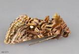 Wavy Chestnut Y Moth Autographa mappa #8912