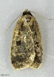 Two-spot Dart Moth Eueretagrotis perattentus #11008