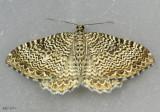 Rheumaptera undulata #7291