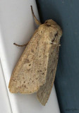 Unarmed Wainscot Moth Leucania inermis #10459