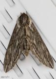 Canadian Sphinx Moth Sphinx canadensis #7807