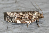 Spruce Budworm Moth Choristoneura fumiferana #3638