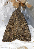 Nutmeg Moth Anarta trifolii #10223