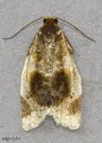 Black-patched Clepsis Moth Clepsis melaleucanus #3686