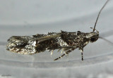 Neotelphusa praefixa #1865