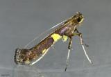 Caloptilia umbratella #0642