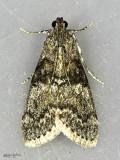 Maple Webworm Moth Pococera asperatella #5606