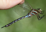 Lance-tipped Darner Aeshna constricta