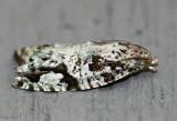 Maple Bud Borer Moth Proteoteras moffatiana #3235