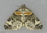 Orange-barred Carpet Moth Dysstroma hersiliata #7189