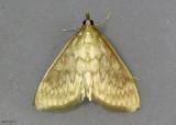 American Lotus Borer Moth Ostrinia penitalis #4946