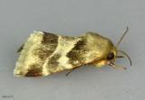 Lynx Flower Moth Schinia lynx #11117