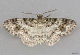 Light Carpet Moth Hydrelia lucata #7419
