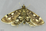 Crowned Phlyctaenia Moth Anania tertialis #4953