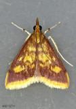 Mint-loving Pyrausta Moth Pyrausta acrionalis #5071