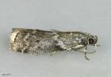 Oreana unicolorella #5767