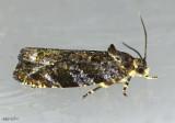 Sparkling Aterpia Moth Aterpia approximana #2748