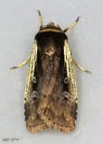 Flame-shouldered Dart Moth Ochropleura implecta #10891