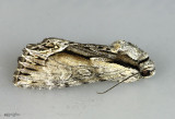 Common Hyppa Moth Hyppa xylinoides #9578