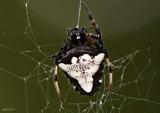 Triangulate Orbweaver Verrucosa arenata