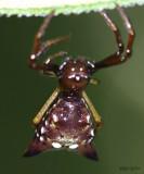 Arrowshaped Micrathena - Micrathena sagittata