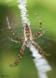 Black-and-yellow Garden Spider  female Argiope aurantia