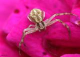 Northern Crab Spider Mecaphesa asperata