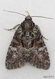 moths 7 Borer 8880 - 9872