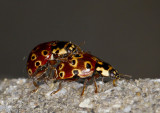 coccinelle ocellée - eyespotted lady beetle - Anatis mali