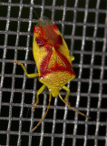 Acanthosome du bouleau - Red crossed stink bug