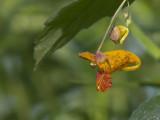 Impatiente du Cap - Impatiens capensis - Spotted Jewelweed