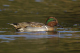 sarcelle à ailes vertes - green winged teal