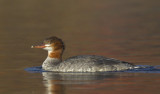 grand harle - common merganser