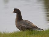 canard musqué - muscovy duck
