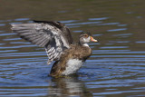 canard branchu - wood duck