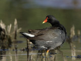 gallinule poule d eau - common moorhen