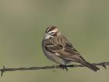 bruant à joues marrons - lark sparrow