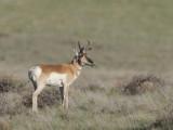 antilope d amérique - proghorn