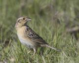bruant sauterelle - grasshopper sparrow