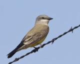 tyran de l ouest - western kingbird