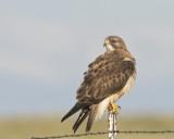 buse de swainson - swainson hawk